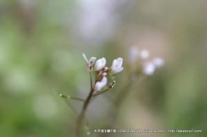 2013_03_03_flower-010