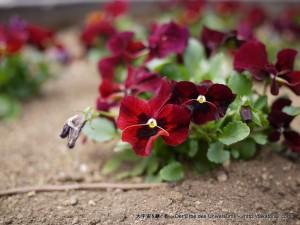 2013_03_17_flower-001