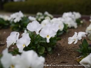2013_03_17_flower-002